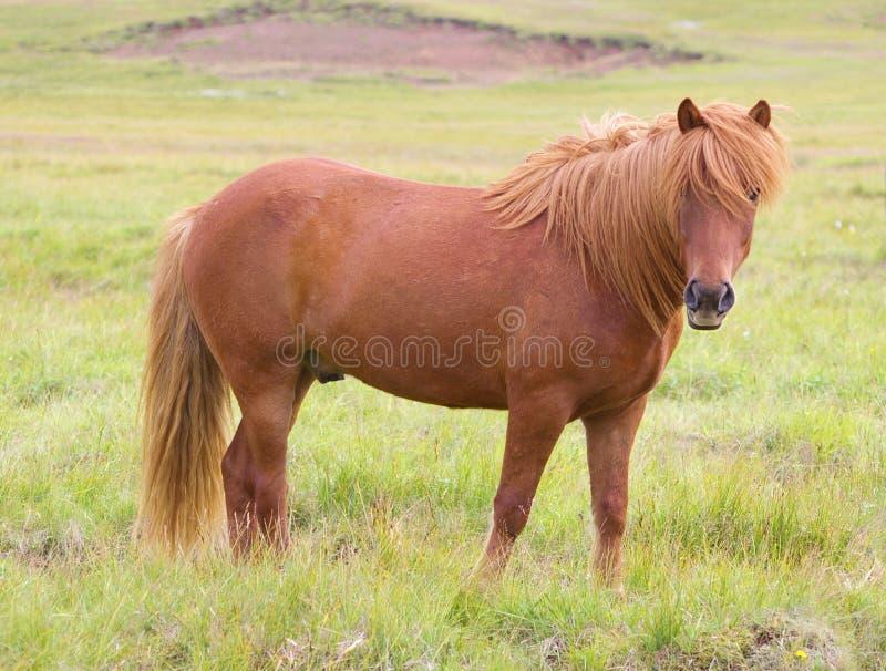 Un cheval islandais sur une herbe photographie stock