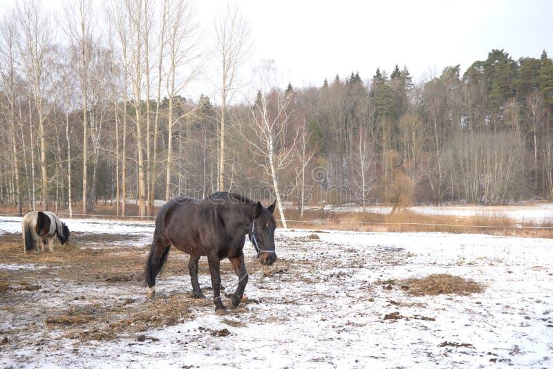 Un cheval noir dans la neige photographie stock libre de droits