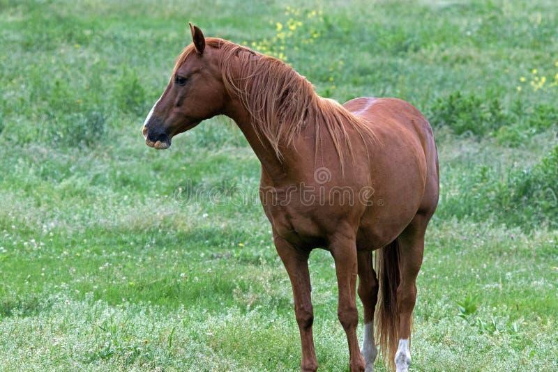 Un cheval quart américain photographie stock