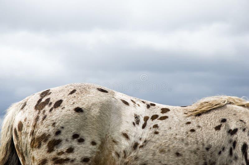 Un cheval repéré brun image libre de droits