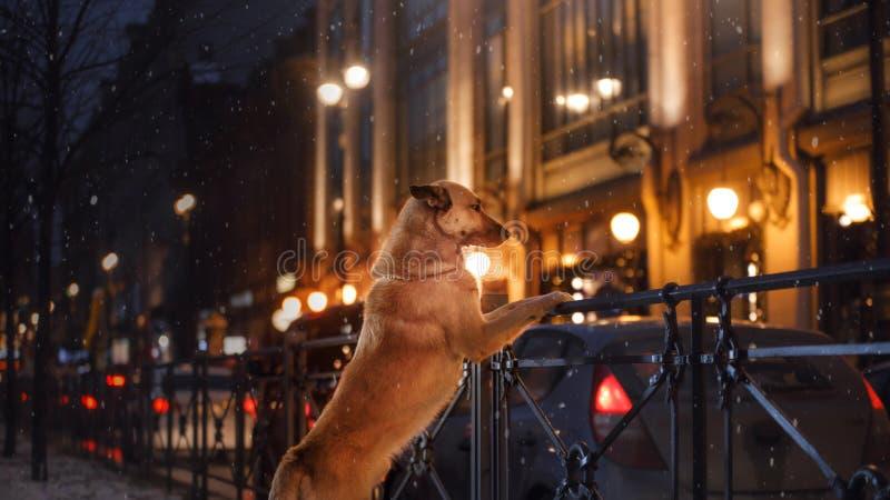 Un chien égaré dans la ville Nuit sur la rue images stock