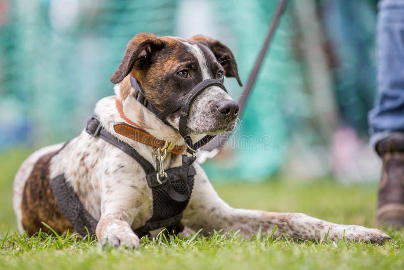 Un chien avec un museau se trouvant sur l'herbe en parc images libres de droits