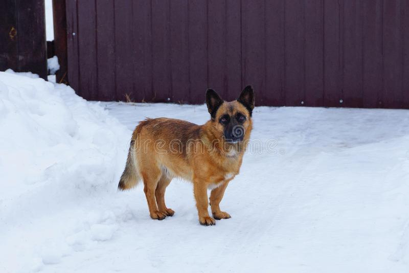 Un chien brun noir se tient sur la neige blanche en dehors de la barrière image libre de droits