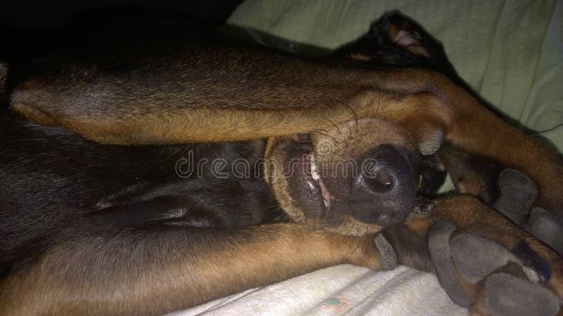 Un chien, chien câlin avec des pattes au-dessus de ses yeux se couchent sur le lit montrant juste le museau et la partie supérieu photos libres de droits