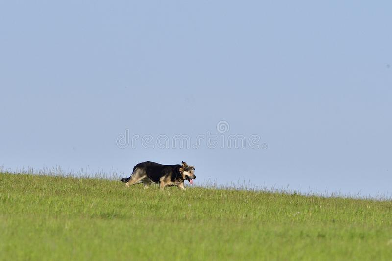 Un chien court plus d'un pré photos stock