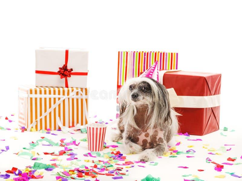 Un chien crêté chinois se trouve près des boîte-cadeau de fête D'isolement sur le fond blanc indoors photographie stock libre de droits