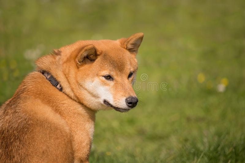 Un chien d'inu de shiba se repose à côté de voient ce qui se produit image libre de droits