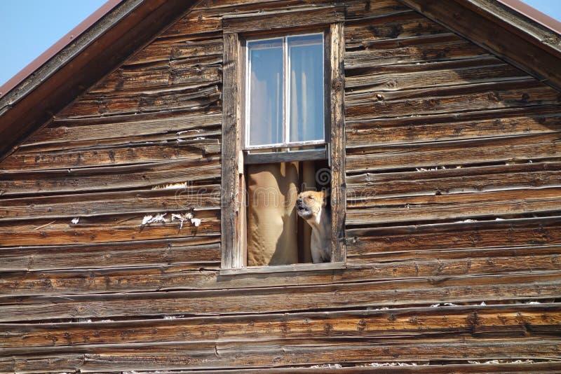 Un chien de garde écorçant d'une fenêtre photographie stock