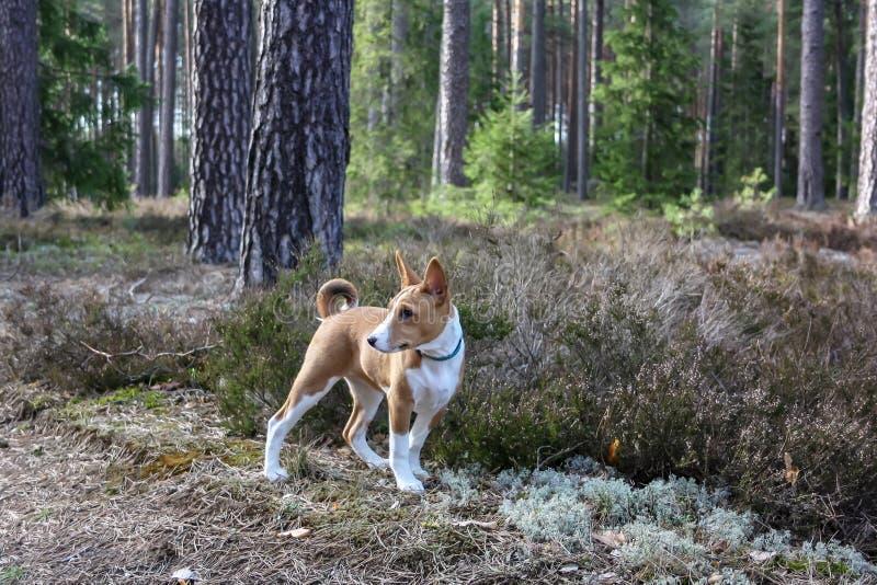 Un chien de race de basenji avec les cheveux courts de couleur blanche et rouge, se tenant dehors avec la forêt à l'arrière-pl images stock