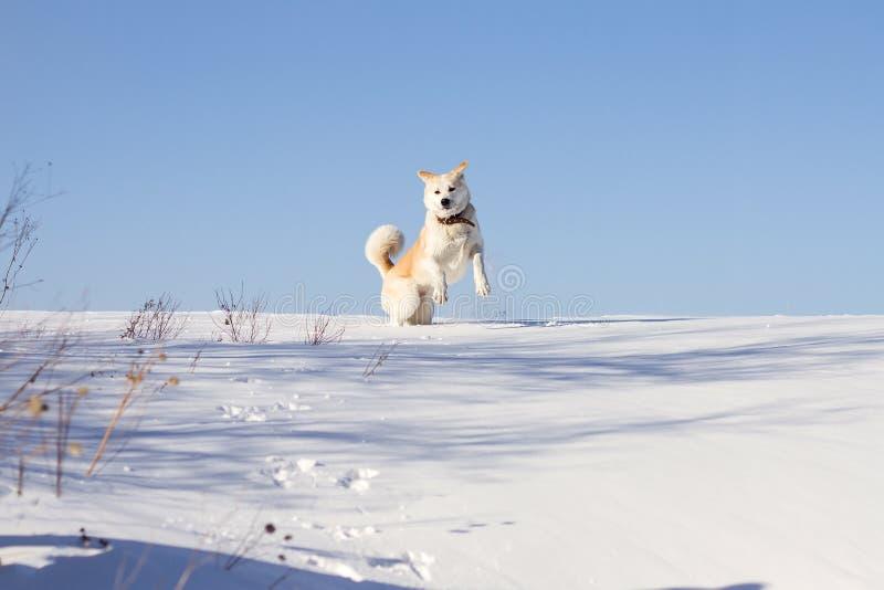 Un chien drôle de race d'inu d'akita de Japonais saute dans une congère en hiver sur un fond de ciel bleu photos libres de droits