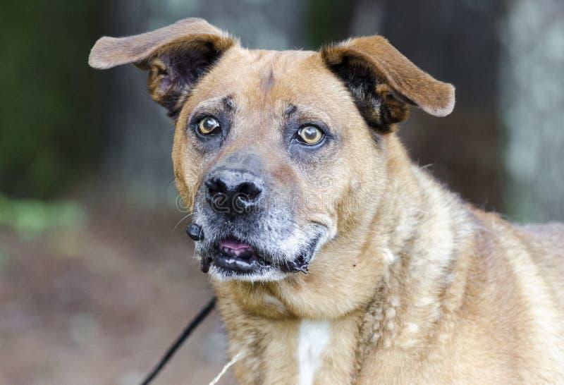 Un chien mélangé plus ancien de race avec la tumeur sur la lèvre photographie stock