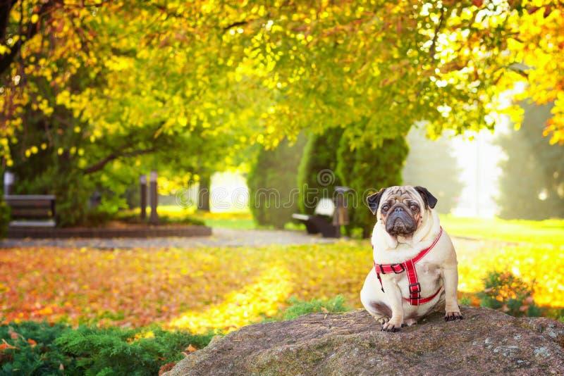 Un chien mignon de roquet se repose dans le feuillage jaune contre le contexte d'un parc de ville d'automne images libres de droits