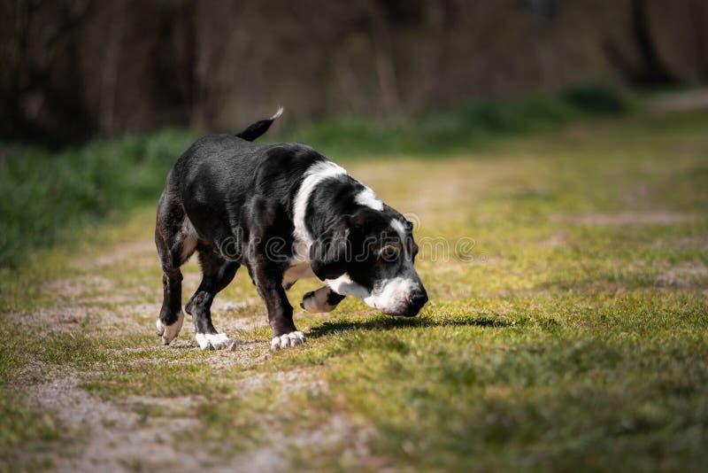 Un chien noir et blanc de basset dehors image libre de droits