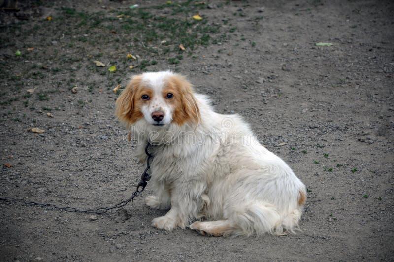 Un chien non-de race sur une chaîne Le chien est blanc avec une couleur brune photo libre de droits
