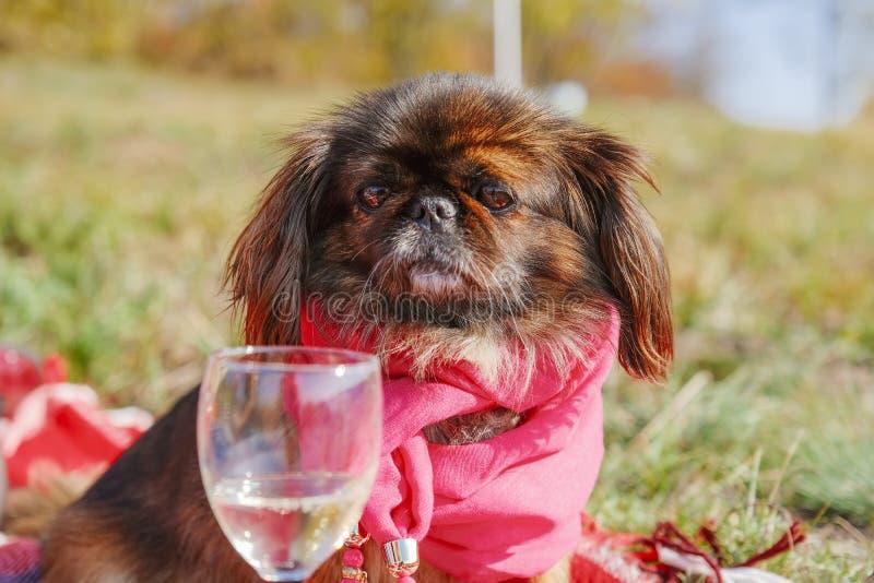 Un chien pékingais en écharpe rouge regarde le verre de vin avec du champagne dans le parc d'automne images stock
