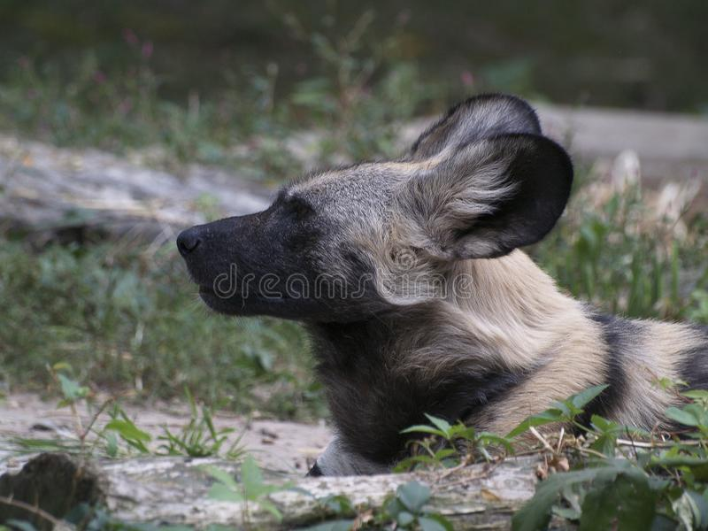 Un chien sauvage africain se couchant image stock