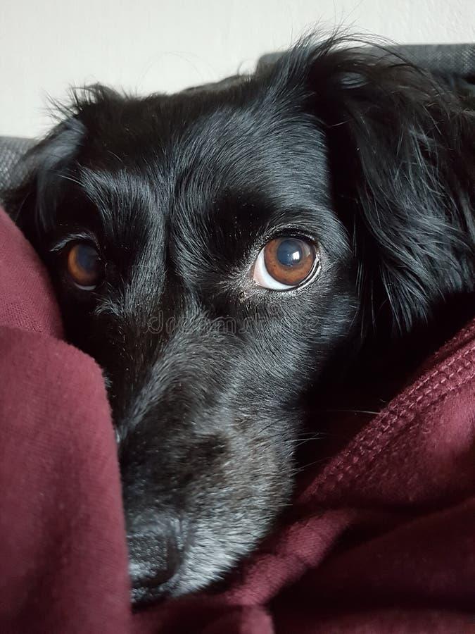 Un chien Tasha photo libre de droits