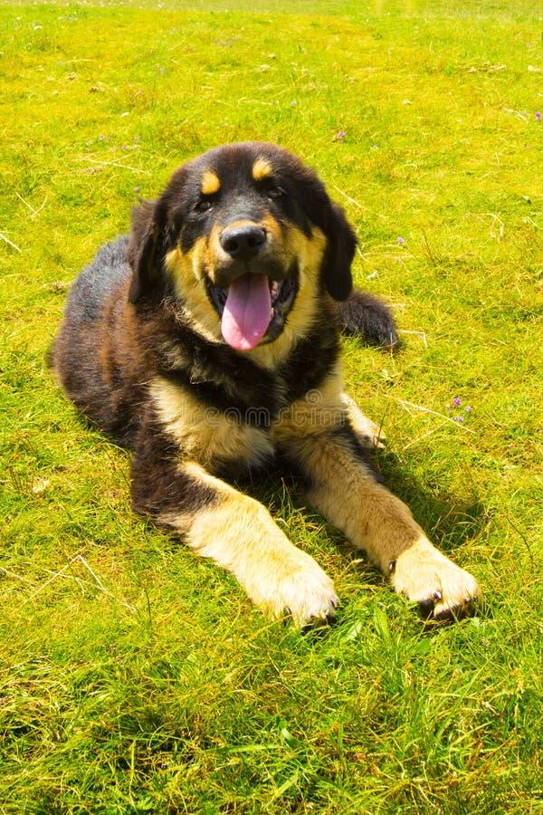 Un chien tibétain se trouve sur l'herbe photos stock