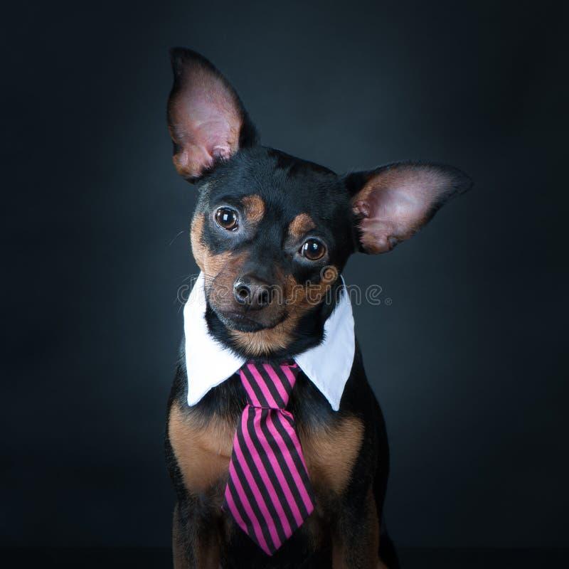 Un chien, toyterrier un lien et un intellectuel Éducation, formation des chiens photo stock