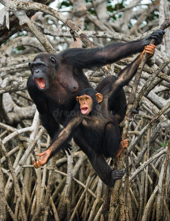 Un chimpancé femenino con un bebé en árboles del mangle El República del Congo Reserva de Conkouati-Douli imagenes de archivo