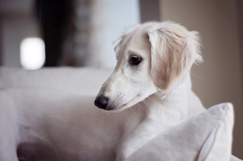 Un chiot à oreilles souple blanc de saluki d'alerte a détendu sur un sofa photo stock