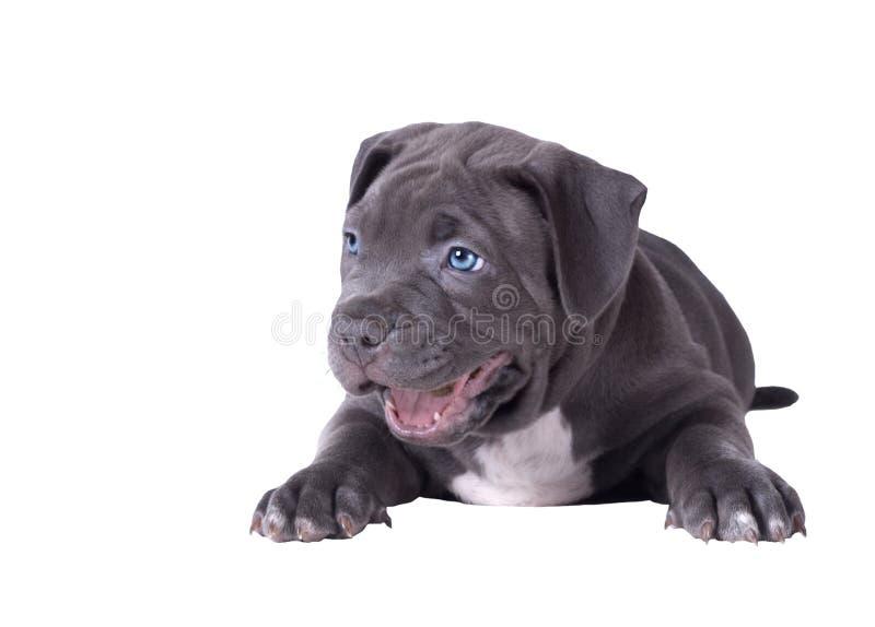 Un chiot d'un pitbull avec des mensonges d'yeux bleus avec sa bouche ouverte et regarde gaiement en longueur D'isolement au-dessu photo libre de droits