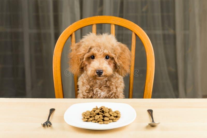 Un chiot ennuyé et indifférent de caniche avec un plat de égruge sur la table photographie stock libre de droits