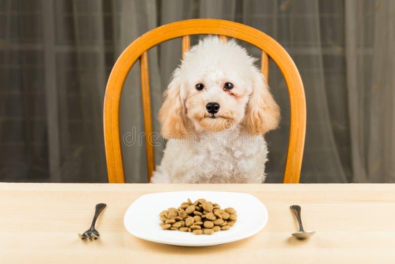 Un chiot ennuyé et indifférent de caniche avec un plat de égruge sur la table photo stock
