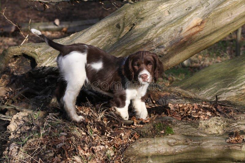 Un chiot mignon d'épagneul de springer anglais, jouant sur un arbre tombé dans les bois photo libre de droits