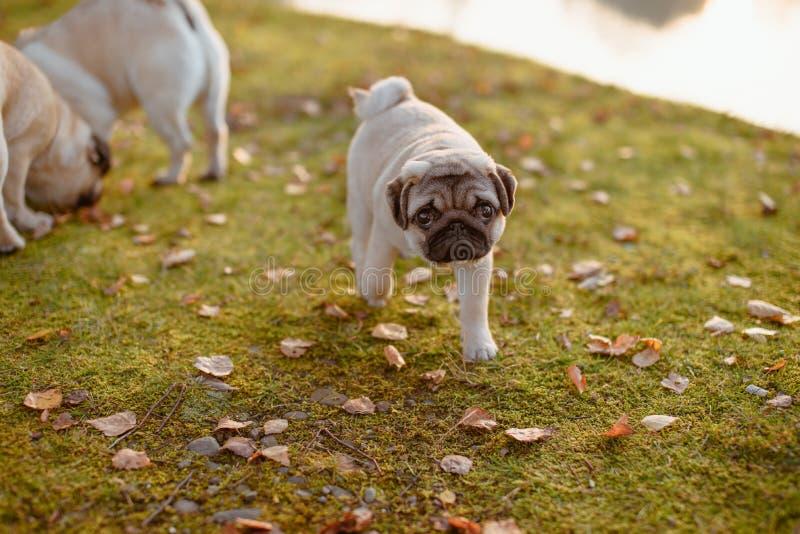 Un chiot mignon, roquet marche à partir de ses parents, recherchant à la caméra avec un visage triste, sur l'herbe verte et les f photo stock