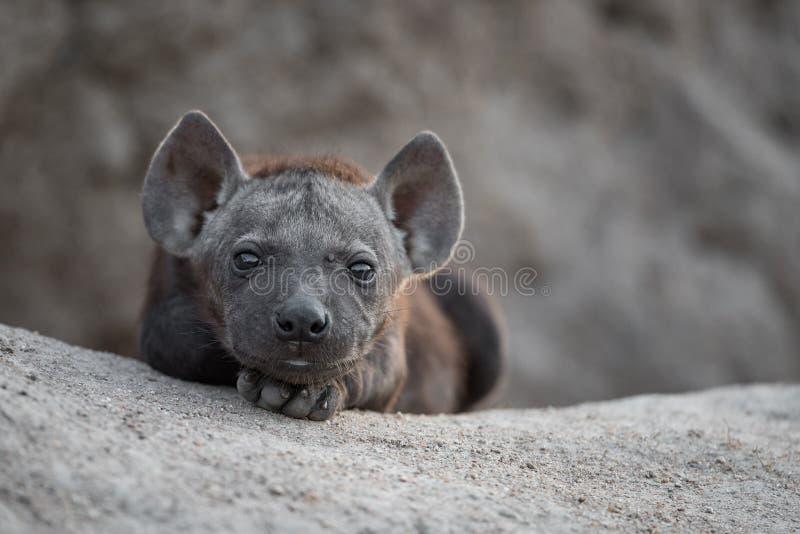 Un chiot noir mignon et minuscule d'hyène image libre de droits