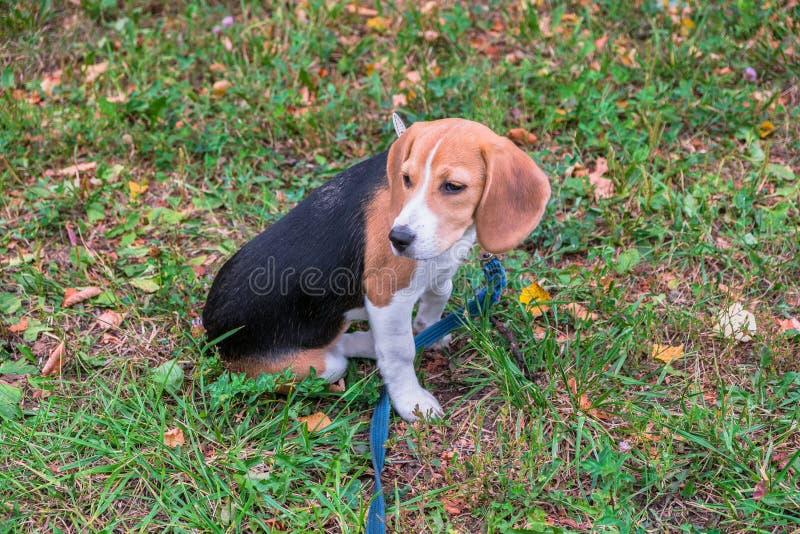 Un chiot r?fl?chi de briquet avec une laisse bleue sur une promenade en parc de ville Portrait d'un chiot gentil images stock