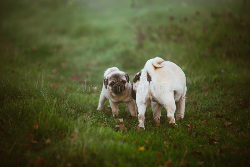 Un chiot, roquet avec un visage effrayé et sa mère qui le renifle sur une herbe foncée verte, pré, champ ou dans un jardin images libres de droits