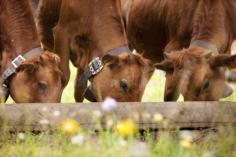 Un cibo marrone di tre calfs immagini stock libere da diritti