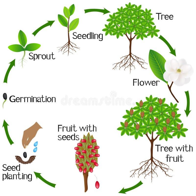Un ciclo de crecimiento de una planta grandiflora de la magnolia en un fondo blanco ilustración del vector