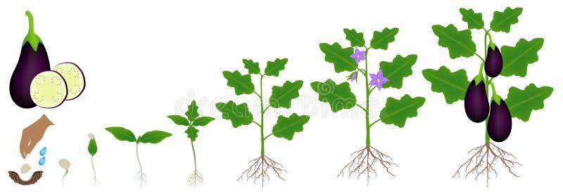 Un ciclo de crecimiento de una planta de la berenjena se aísla en un fondo blanco stock de ilustración