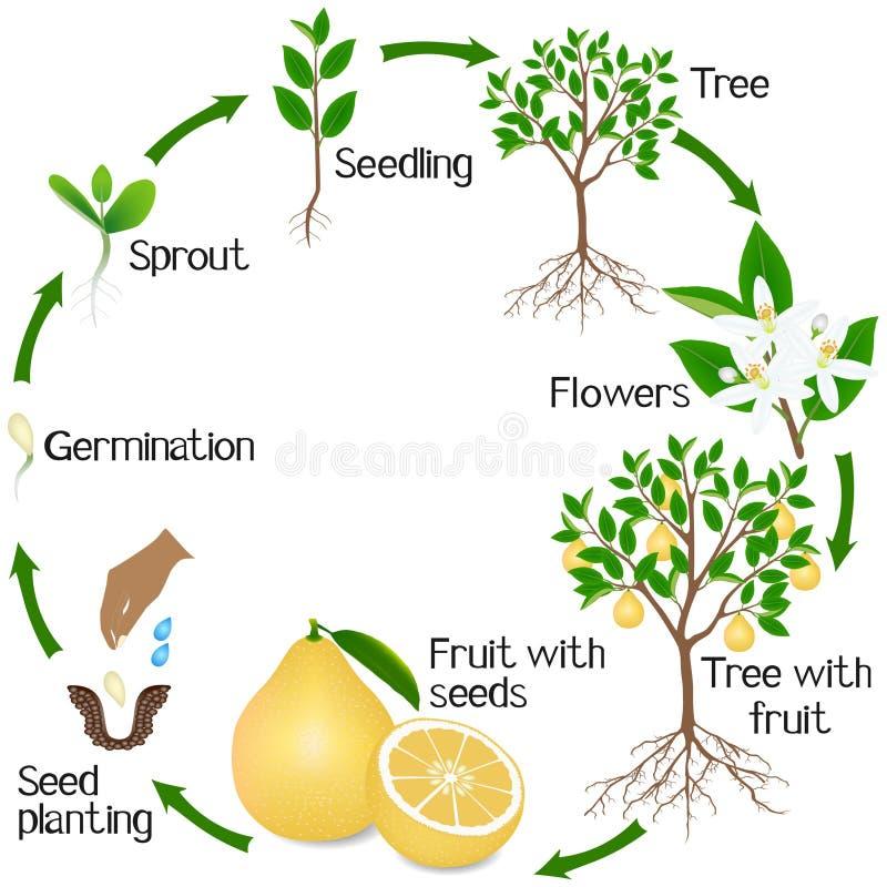 Un ciclo di crescita di un albero di pomelo su un fondo bianco illustrazione vettoriale