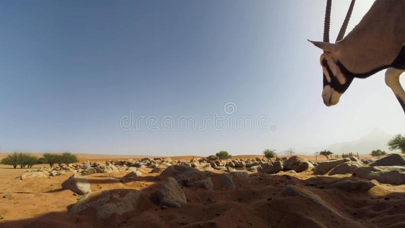 Un cierre adulto de la gacela del Oryx del Gemsbok para arriba contra el fondo del desierto, parque nacional internacional de Kga imagen de archivo