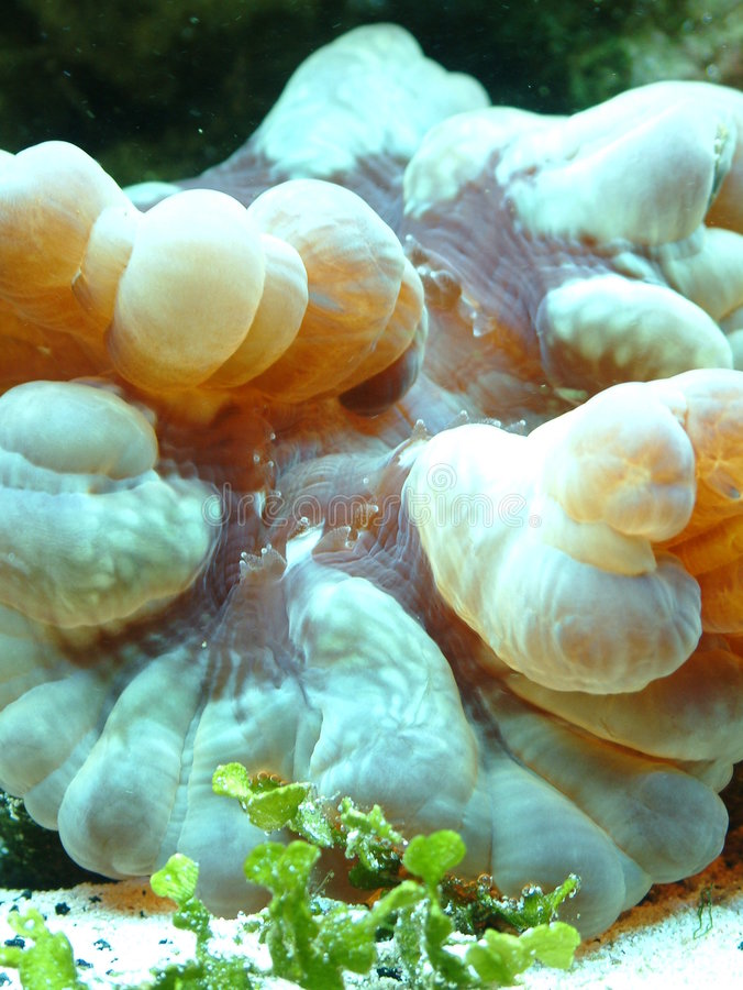 Un cierre del coral de cerebro del buñuelo imagen de archivo libre de regalías