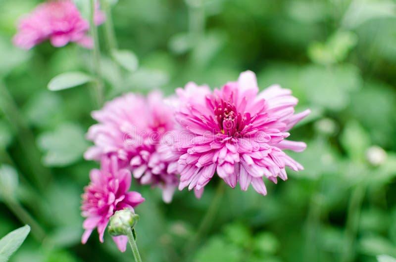 Un cierre encima de la flor rosada con los pequeños pétalos nombró el crisantemo imágenes de archivo libres de regalías
