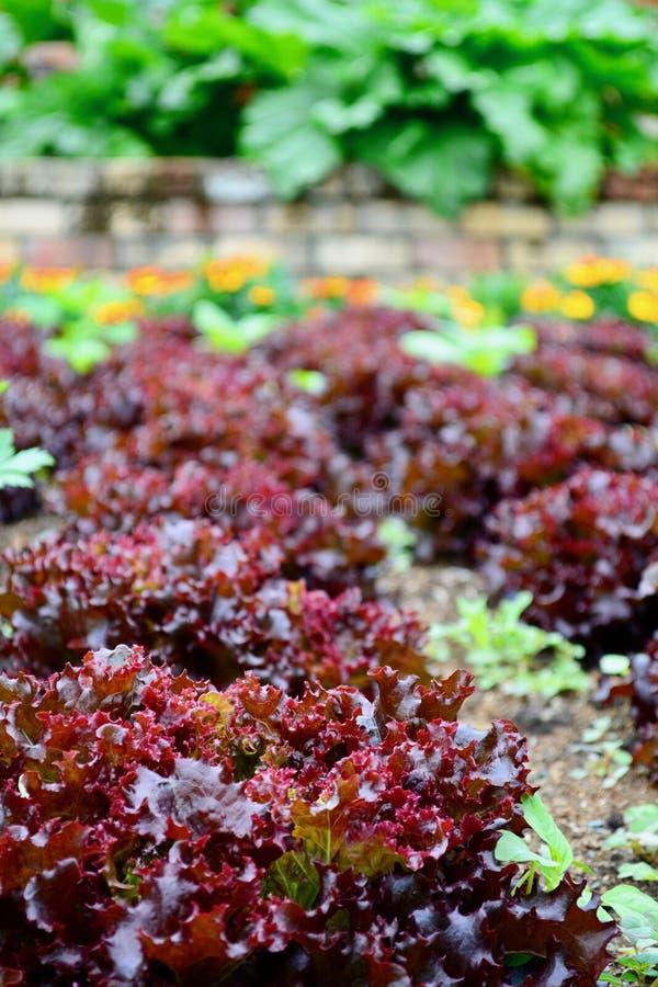 Un cierre encima de la foto de sativa del Lactuca de las lechugas crecida en un jardín; plantas coloridas sanas, verdura de hoja fotos de archivo libres de regalías