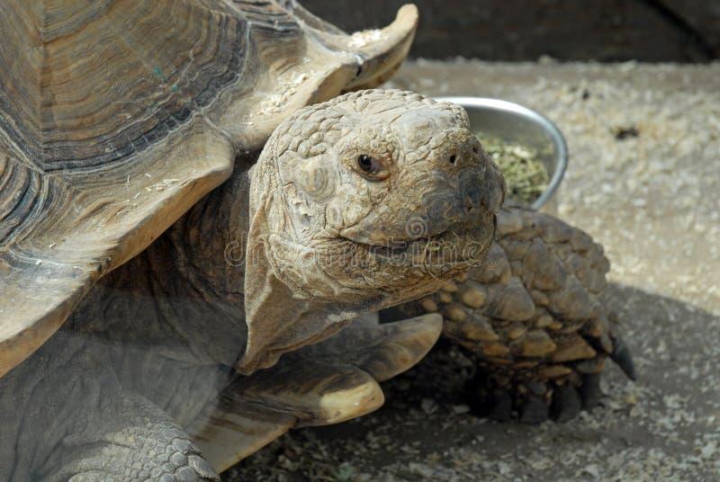 Cabeza y cara de la tortuga gigante imagen de archivo