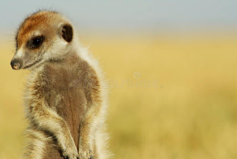 Un cierre encima del retrato de un meerkat - SnÃmek 2019 imágenes de archivo libres de regalías