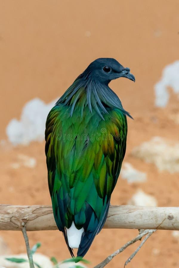 Un cierre encima del retrato de un nicobarica nicobar de Caloenas de la paloma de la paloma se encaramó en una rama de árbol, mir imagen de archivo