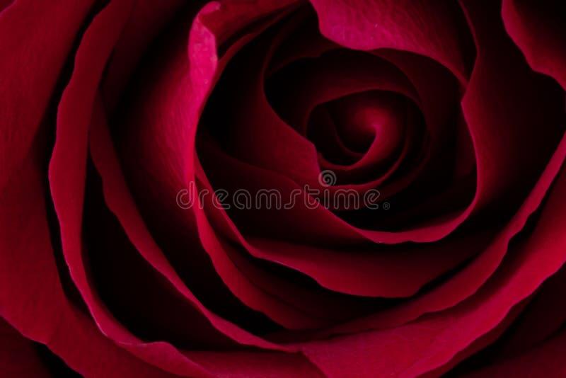 Un cierre encima del tiro macro de una rosa roja foto de archivo