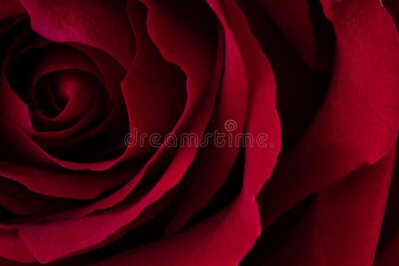 Un cierre encima del tiro macro de una rosa roja fotografía de archivo libre de regalías