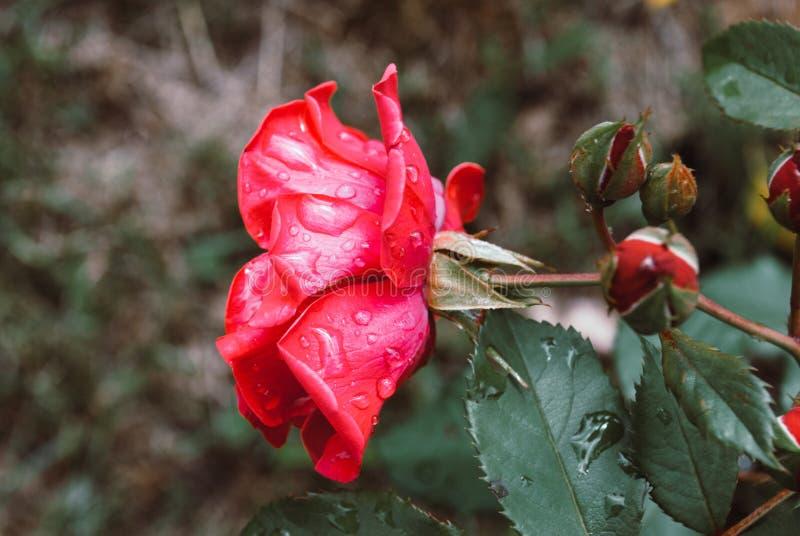 Un cierre encima del tiro macro de una rosa roja con las gotas de agua imágenes de archivo libres de regalías
