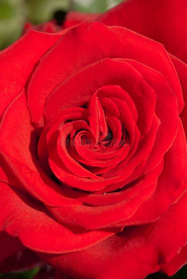 Un cierre encima del tiro macro de una rosa roja con las gotitas de agua imagenes de archivo