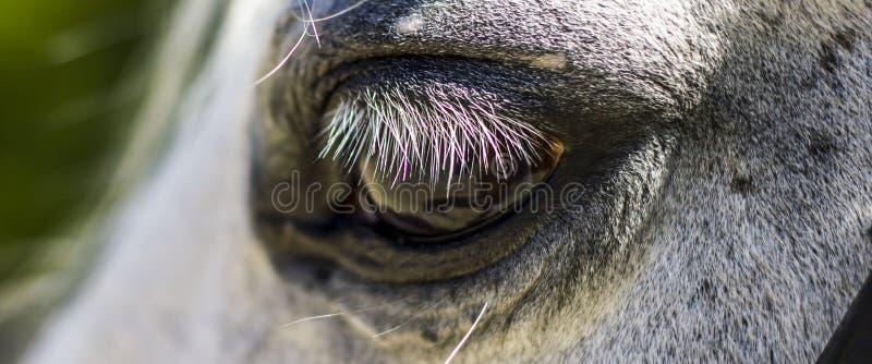Un cierre encima del tiro del ojo de un caballo blanco imagen de archivo
