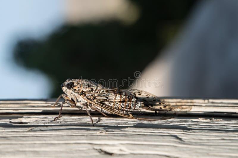 Un cierre macro para arriba de una cigarra que se sienta en un pedazo de madera en el verano foto de archivo